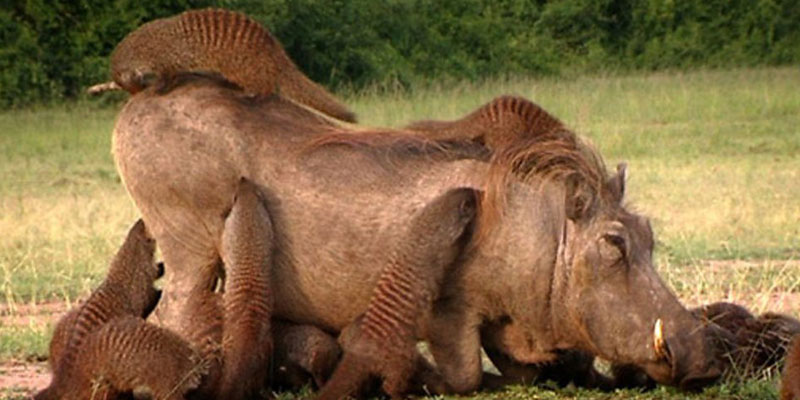 what is the symbiotic relationship between a oxpecker and rhino