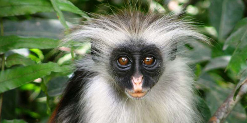 Red Colobus Monkey Baby